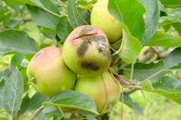 symptome sur pomme